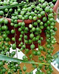 rosario bolitas colgantes planta rosario senecio rowleyanus