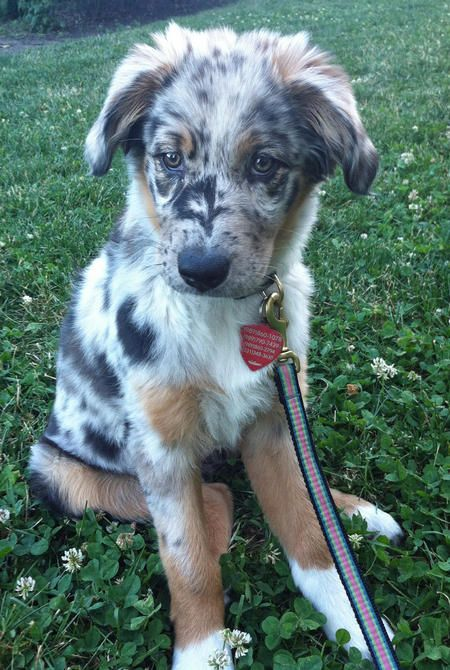 This is a serious contender for the cutest puppy I've ever seen!  (She's an Anatolian Shepherd)