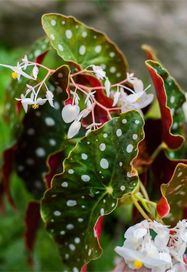 Begonia Maculata Care How To Grow Polka Dot Begonia Smart