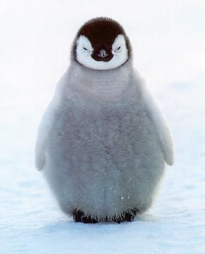 Happy feet... softie....Fluffy, Happy Feet, Happyfeet, Pets, Baby Animal, Adorable, Things, Emperor Penguins, Baby Penguins