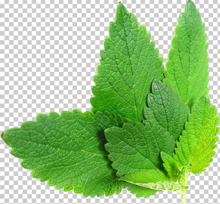 Tea Lemon Balm Herb Mint Png Basil Citral Common Sage Food Drinks Herb Lemon Balm Herbs The Balm
