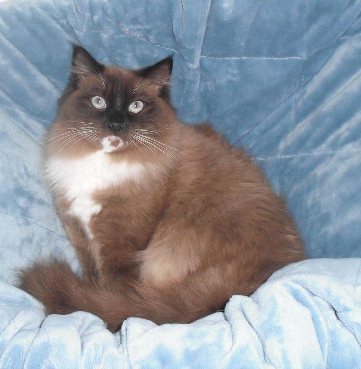Burmese cat breeders kansas
