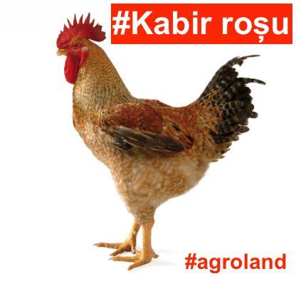 MIercuri ultima serie de KABIR de o zi. Pret PROMO 25 lei Suna ACUM pentru inscriere pentru cea mai ceruta categorie de pui de o zi! http://ift.tt/2bUSkMx