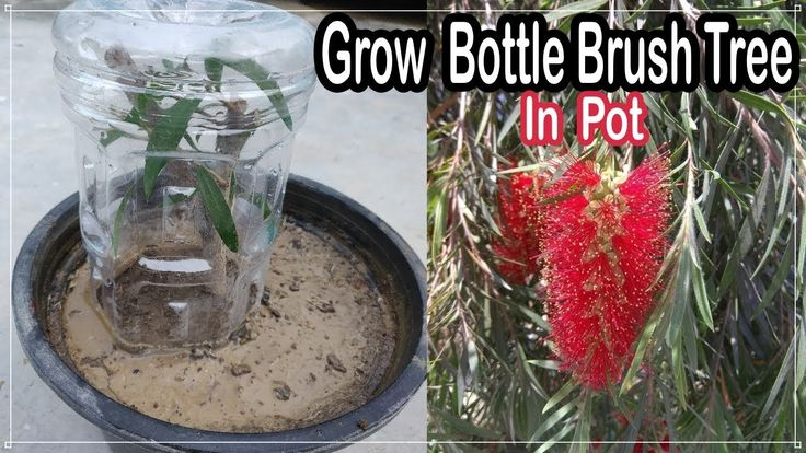 How to grow bottle brush tree from cuttings best