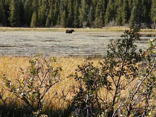 moose at Bierstadt lake