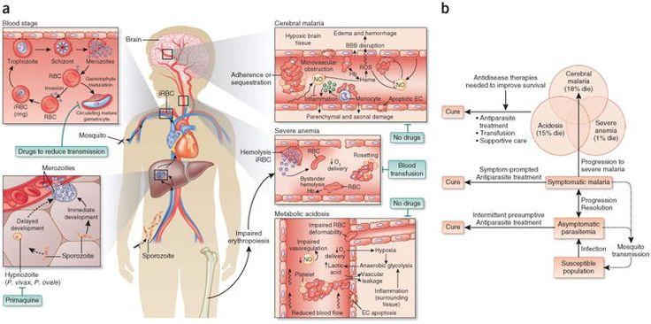 Ciclo de vida plasmodium. Malaria