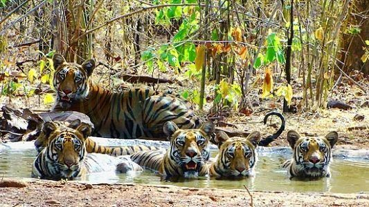 Tadoba #JungleSafari 2 Nights Package Starting At INR 17000. Know more details @ http://www.triptheearth.com/packages/India/Tadoba_Andhari