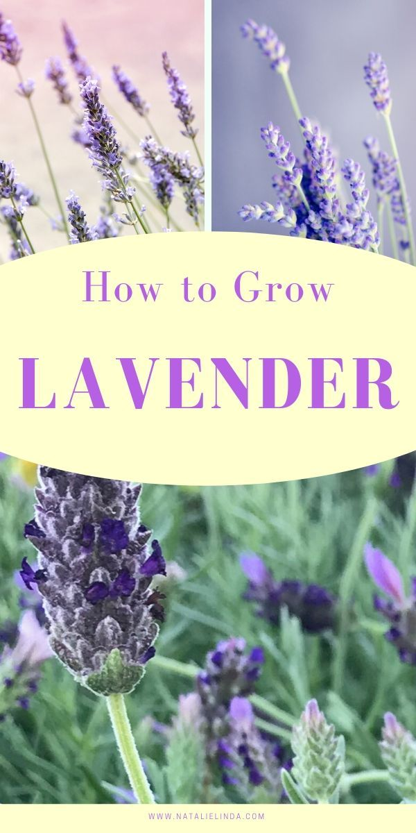 How To Grow And Care For Lavender Plants Lavender Plant Care