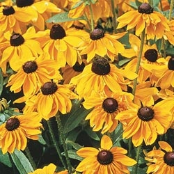I can't have a garden without these happy little flowers.Gardens Perennials, Gardens Gates Greenhouses, Cones Flower, Blackeyed Susan, Black Ey Susan, Gardens Chairs, Flower Seeds, Flower Echinacea, Dreams Gardens