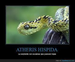 atheris hispida