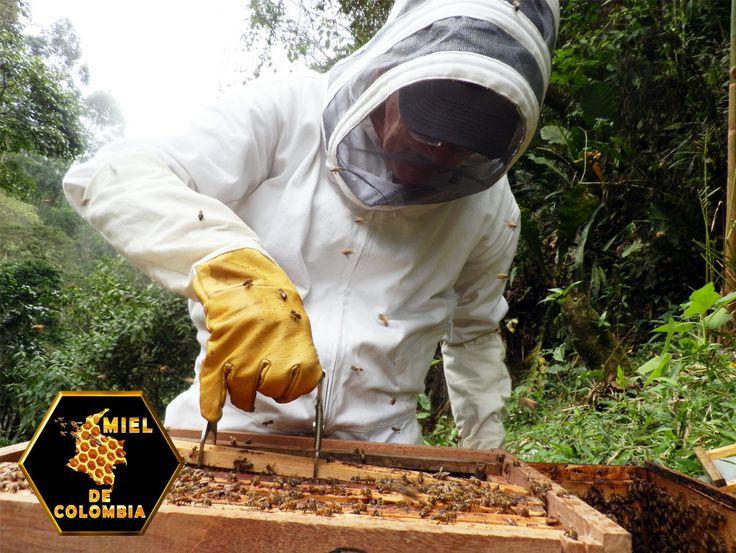 Pinza o Espátula Debido a que las abejas pegan todos los elementos de la colmena con propóleo, es necesaria una herramienta para poder separar, por un lado la tapa del alza de la colmena (si es una colmena de alzas) y por otro, los cuadros entre sí para poder acceder a ellos con las manos. El apicultor utiliza para ello una espátula de metal con los extremos ligeramente afilados, para poder hendirla entre los cuadros y para utilizarla en casos de limpieza como un elemento raspador.