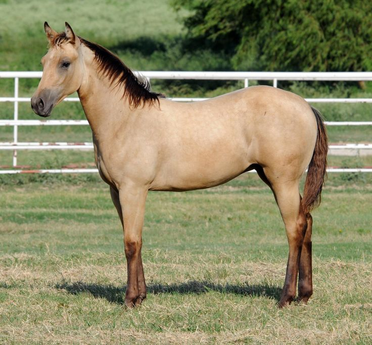 quarter horse buckskin - photo #14
