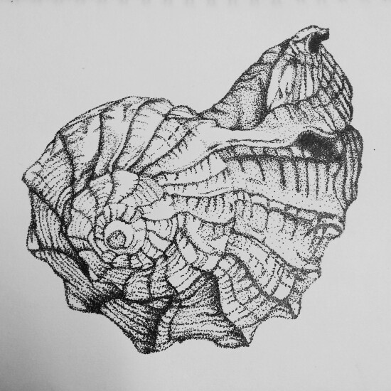 Line Drawing Natural Forms : Best shell drawings images on pinterest shells