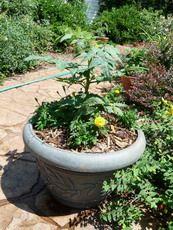 Tomatoes need companion plants to grow and to keep pests away. Best companion plants for tomatoes: Basil, borage, chives, garlic, marigolds, mint, nasturtium, parsley