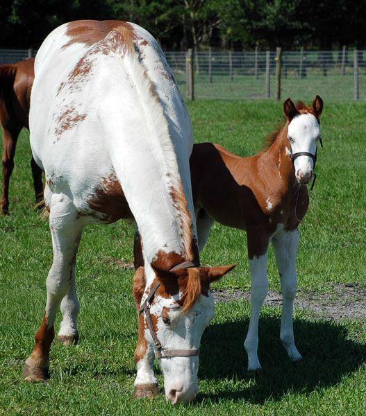 "Poulains paint-horses ""SPLASHS"" overo à vendre !!!"