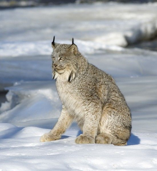 Canada Lynx - an amazing cold-weather creature!