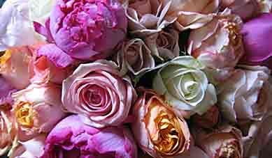 Entretien des rosiers mois par mois - Arrosoirs et Sécateurs