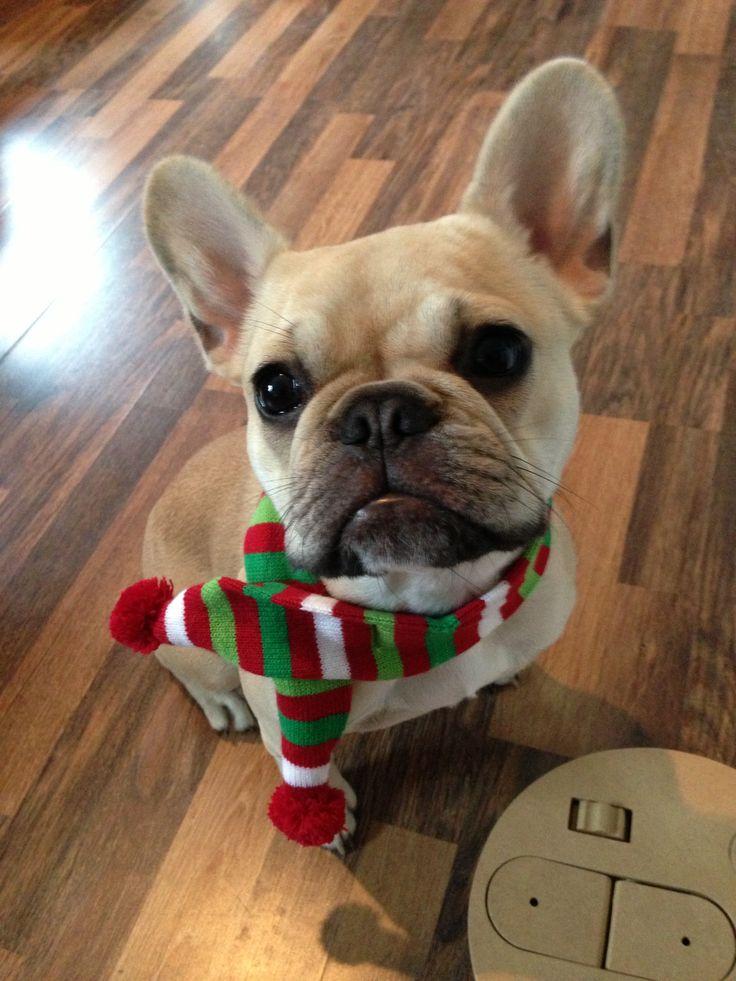 MooBear winters coming. French Bulldog.