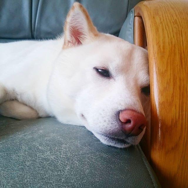 寝るときまで美人ねーーーーー Shibainu Whiteshiba 大好き 長生きしてね 家族 愛犬 柴マニア 白柴 柴犬 お散歩 散歩 犬 白い犬 可愛い犬