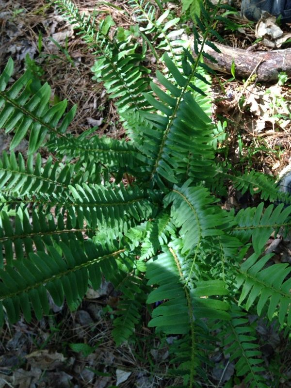 Christmas Fern (polystichum acrostichoides): This fern is a great plant for shade and moist soil.  It's evergreen in many areas.  It's hard to get a precise sense of scale from this photo - if you disagree upon reflection, we're glad to try again.  Great plant!