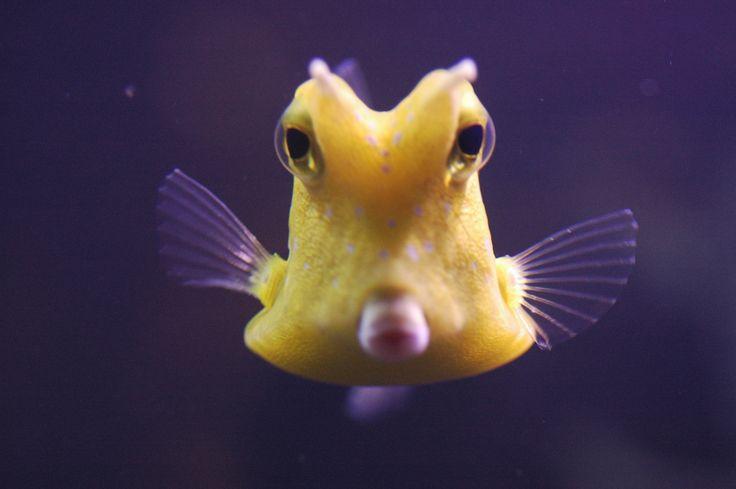 Cowfish Saltwater Pinterest