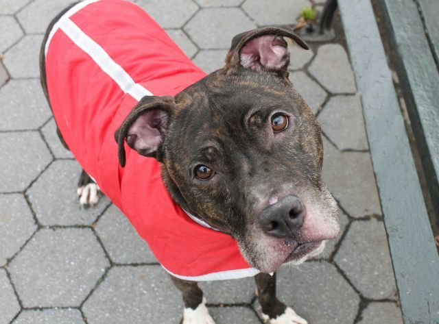 SALEM - A1100387 - - Manhattan  TO BE DESTROYED 02/07/17 A volunteer writes: I knew right away that Salem and I were going to be good friends on the walk. He just had the most friendly demeanor inside his kennel, with soft body language, and a constant tail wag. And if you're looking for friendly, you can start right here with him. He's a joy to be with, wiggling and wagging his body as he walks on the sidewalk. People say that dogs can smile, and Salem's