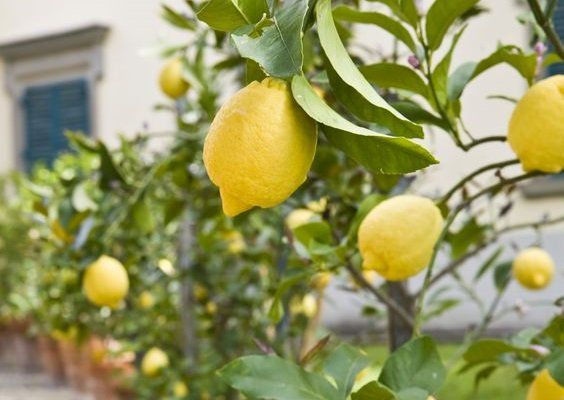 果樹園のある暮らしレモンツリーから始まる心ときめくライフスタイル