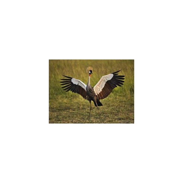 African Crowned Crane, Masai Mara, Kenya - Birds: Wild & Songbirds - Animals - Screensaver & Wallpaper - Webshots Photo Gallery found on Polyvore