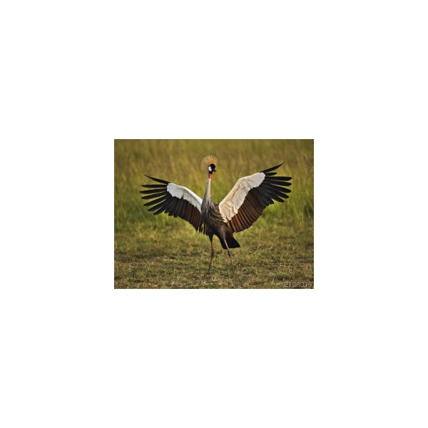 African Crowned Crane, Masai Mara, Kenya - Birds: Wild & Songbirds - Animals - Screensaver & Wallpaper - Webshots Photo Gallery found on Polyvore