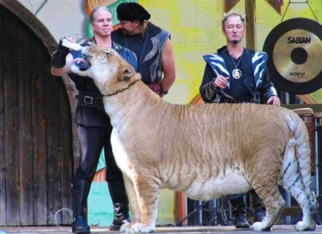 Liger Hercules looks healthiest and fittest from its each and every appearance.