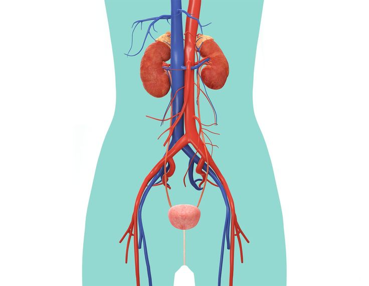 Excretory System Diagram Unlabeled 17 Best images about E...