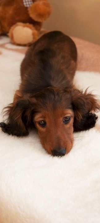 Long Haired Dachshund cutie
