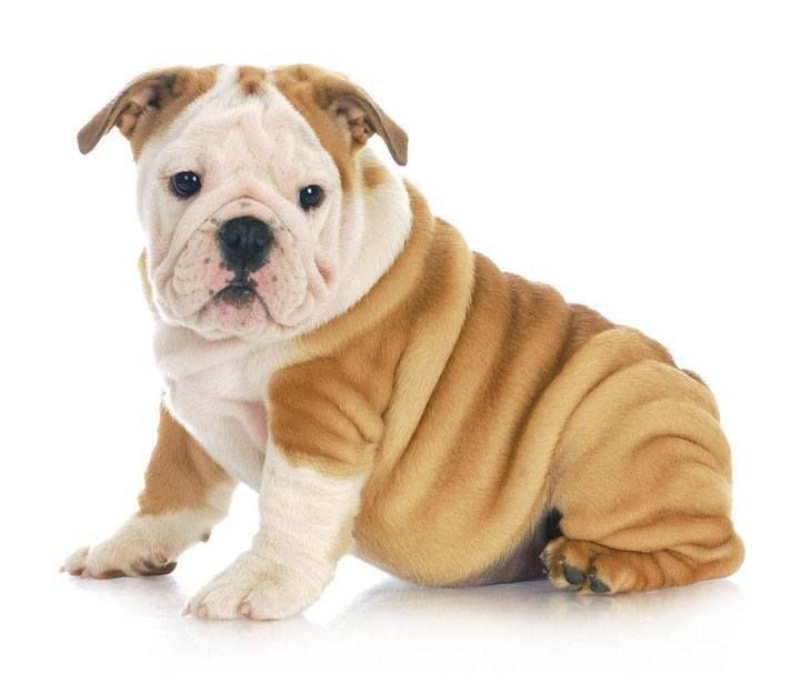english bulldog boy names 17 best images about english bulldogs on pinterest 2132