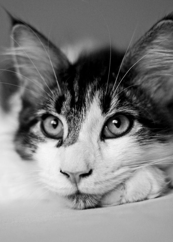 """Merlin, the cat"" by Inno Theme on Displate #cat #animal #photography #displate #blackandwhite #portrait"