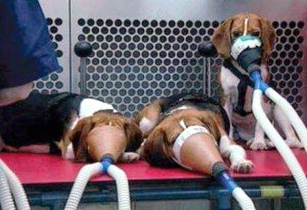 SandRamirez contra el maltrato animal. • www.luchandoporellos.es: EXPERIMENTACIÓN CON ANIMALES Y VIVISECCIÓN.