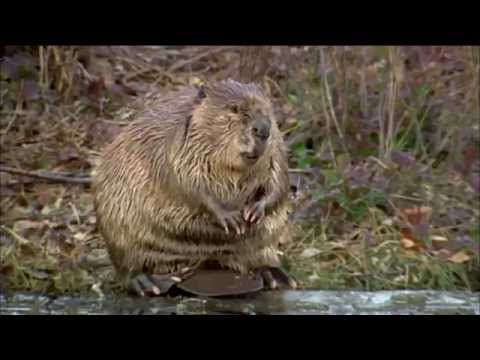 "PBS Nature 2014 ""Leave it to Beavers"" - YouTube   Whole video for free!!! Great teaching tool for our Homeschoolers to learn all about Beavers!!!"