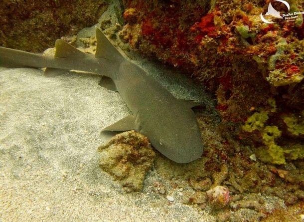 Sharky's Pt II starts off in the boulder garden, then continues over sand channels and reef.