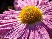 431070 - Chrysanthemum (Chrysanthemum indicum 'Karminriese')