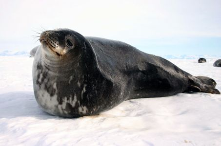 Weddell Seal Population Count Activity