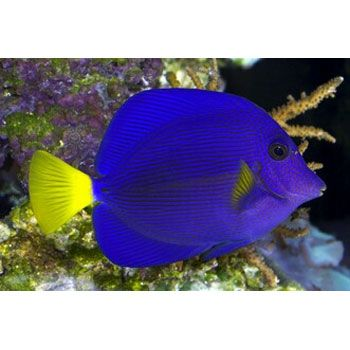 Purple tang my dream fish my pet dreamboard for Dream about fish out of water