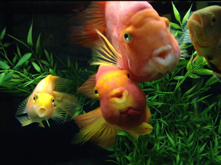 22 best images about blood red parrot cichlids and other for Blood parrot fish