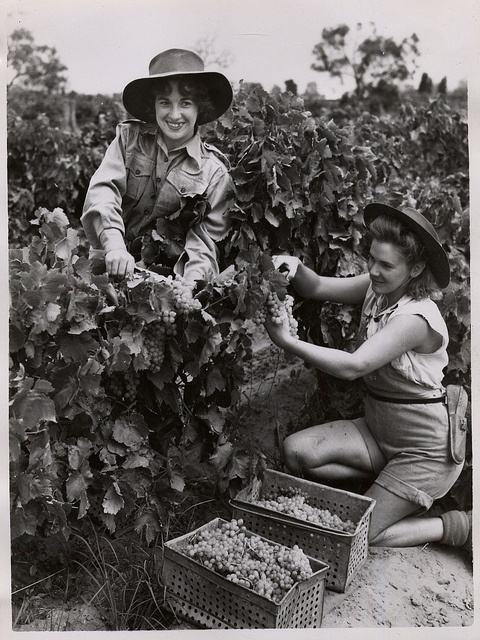 Women picking grapes    Women picking grapes, Barossa Valley, c1950. Image courtsey of SATC. GRG7/70/4/212. State Records South Australia on Flickr.