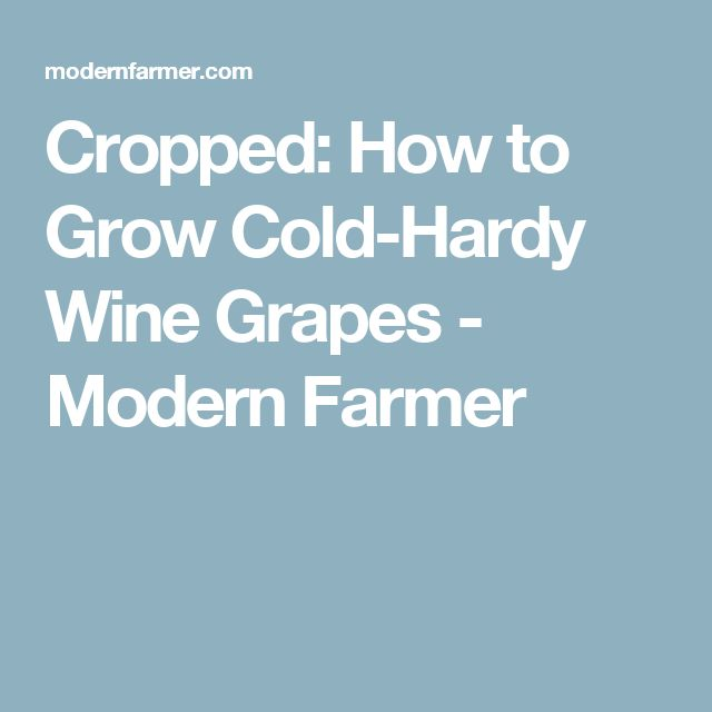 Cropped: How to Grow Cold-Hardy Wine Grapes - Modern Farmer