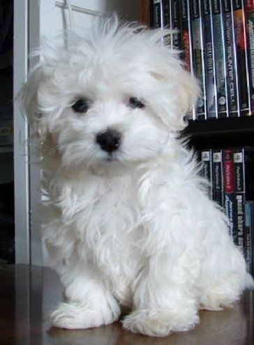 Adorable Cute White Fluffy Puppy