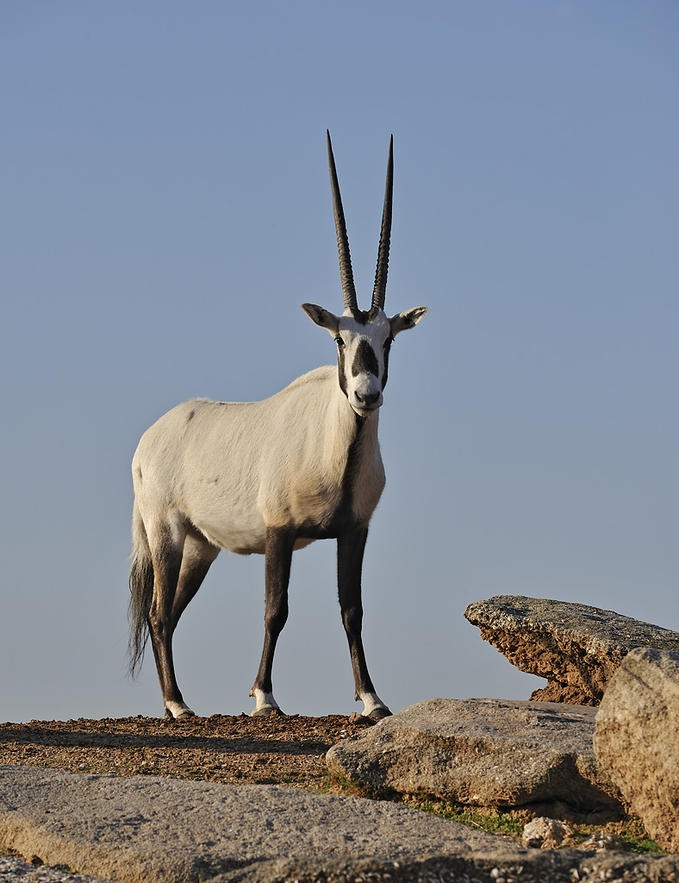 Arabian Oryx by Photo.net photographer Tibor Jäger