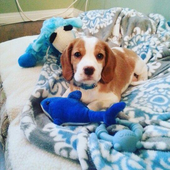 My beaglier puppy Toby!♡