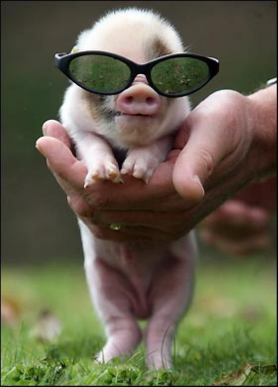 Cool Pig!