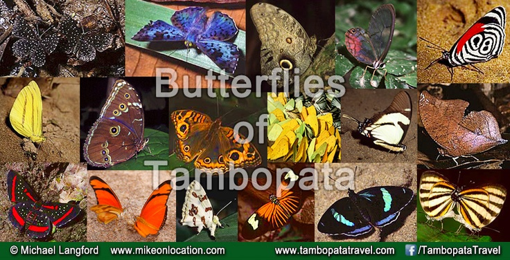 1234 butterfly species and the possibility of finding more - Tambopata, Peru, one of the Earth's most biodiverse regions. Tambopata Travel takes you there, just 30min flight from Cusco.   #amazon #amazonrainforest #rainforest #peru #travel #nature #wildlife #tourism #butterfly #butterflies #responsibletravel #ecotourism  #perutours #jungletours #jungletoursperu #expeditions #tambopatatravel #tambopata #traveltoperu #nature #tours #photography #jungle #jungletour #amazonjungle…