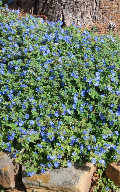 blue daze - amazing blue flowering ground cover - drought resistant, full sun, blooms april-november