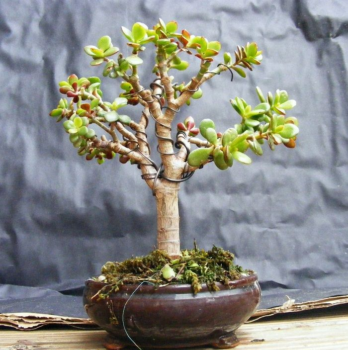 22 Best Trees For Bonsai You Should Know About Plantas
